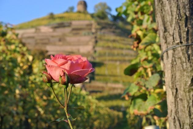 Unsere Rosen am Weinberg